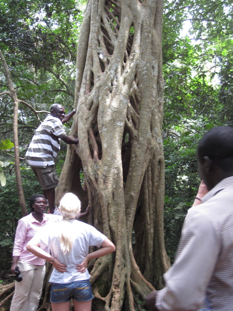 Father Paul climbing tree at Monkey Sanctuary in Ghana.